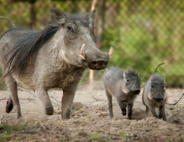 baby warthogs detroit zoo